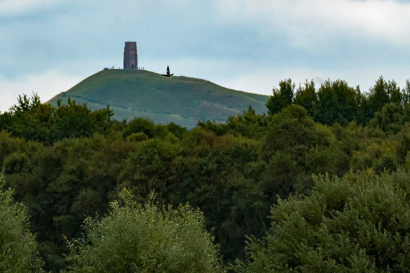 Glastonbury Tor with Marsh Harrier