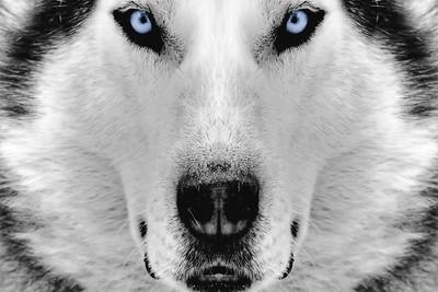Husky Backgrounds