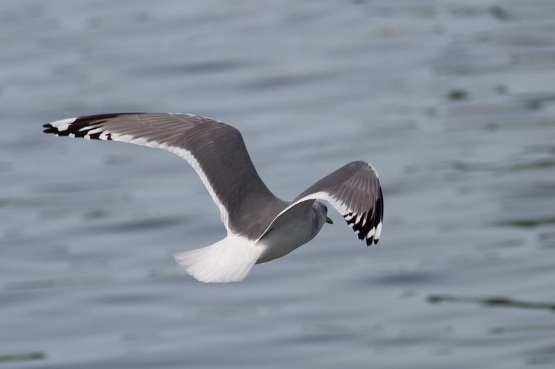Mew Gull Adult - Note how dark the back looks.