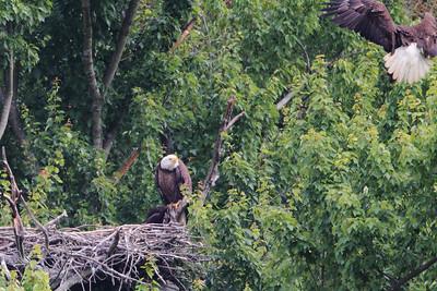 Huntingburg Eagle Nest - June 10