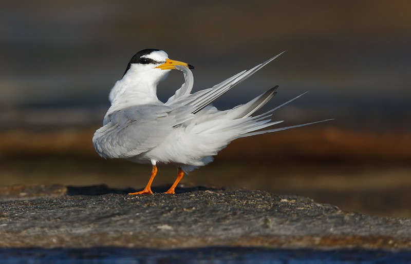 Little Tern preening MASTER.jpg