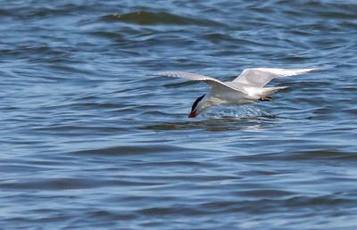 Caspian Terns, Burlington 2014