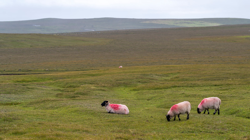 Sheep grazing in a field, Erris Peninsula, Erris Head Loop Walk, Glenamoy, Belmullet, County Mayo, Ireland
