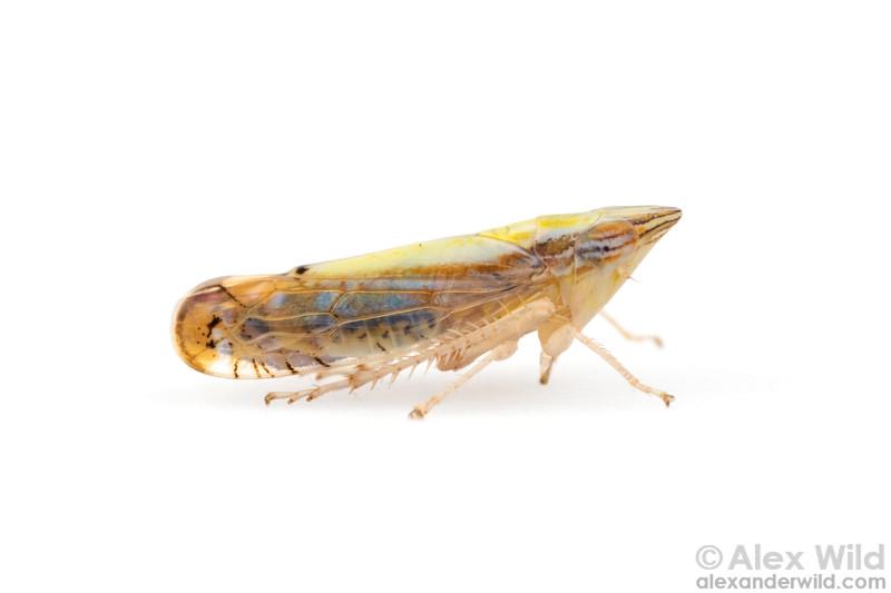 Scaphytopius elegans