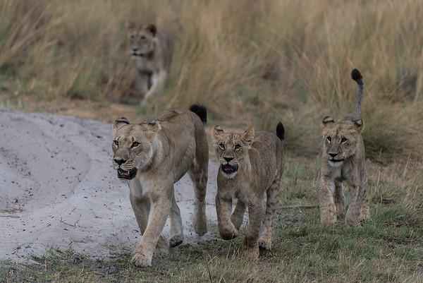 Botswana animals