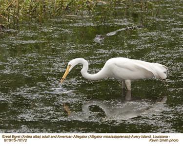 Great Egret  & Alligator A70172.jpg