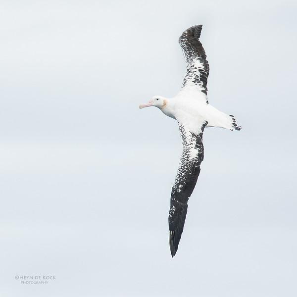 Wandering Albatross, Eaglehawk Neck Pelagic, TAS, Sept 2016-3.jpg