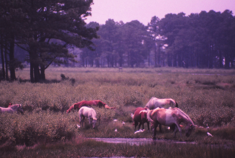 Chincoteague 1981-07 004.jpg