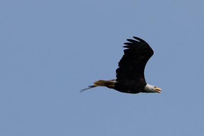 2021 05 Cajun Lake Lodge Eagles