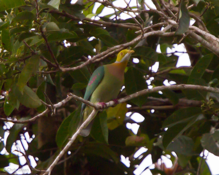 Pink-spotted Fruit-Dove at Kwatu Lodge, Papua New Guinea (10-11-2013) 017-30.jpg