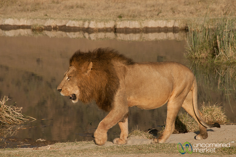 Male Lion Walking By Water - Ngorongoro Crater, Tanzania