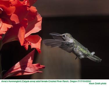 Anna's Hummingbird F93241.jpg