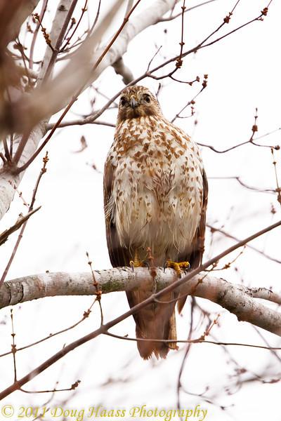 Juvenile Broad-winged Hawk.
