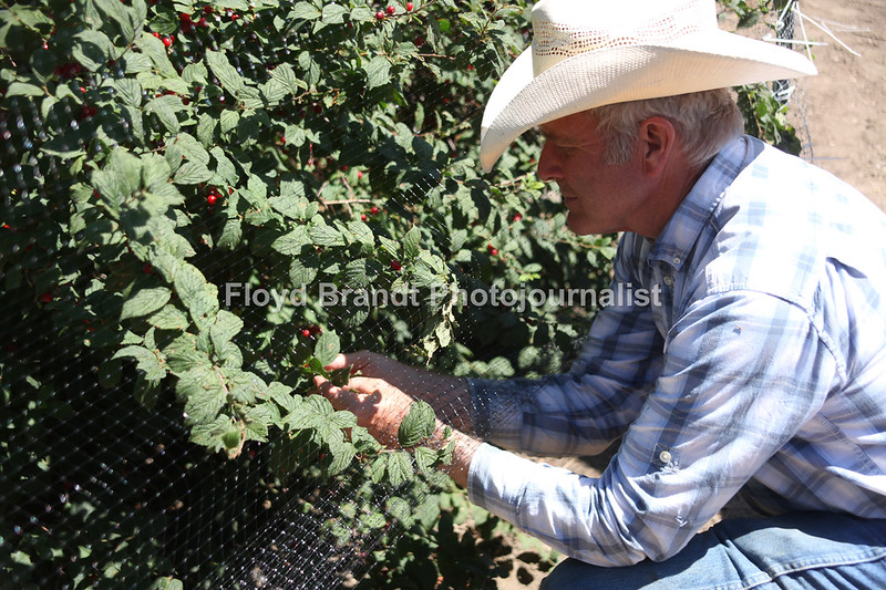 Havre Daily News / Floyd Brandt  Bob Quinn with cherries that he grew at his farm in Big Sandy