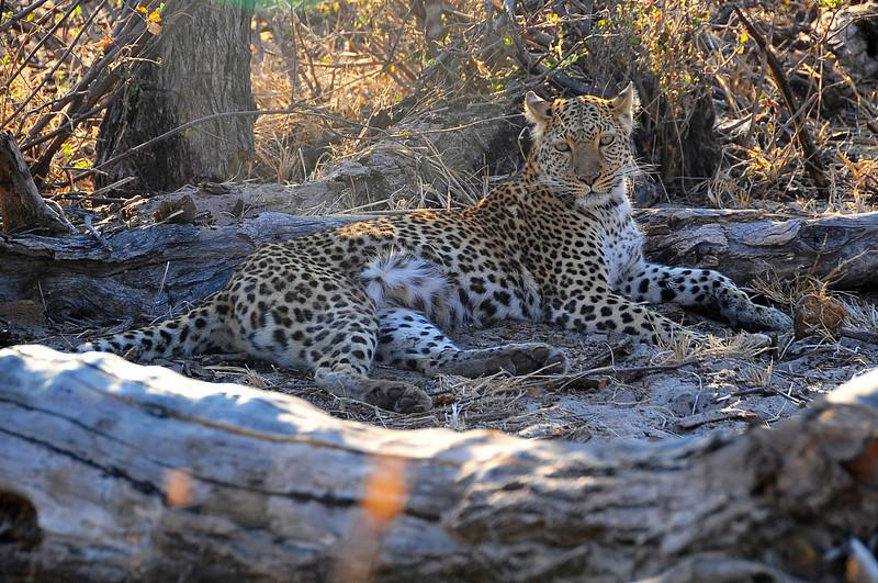 EPV0489 Leopard on Ground.jpg