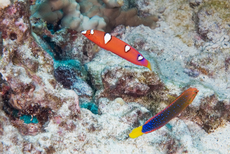 Yellowtail Coris Young and Old.jpg
