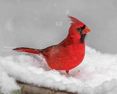 Cardinals and Grosbeaks