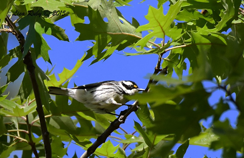Black-throated Gray Warbler -  4/11/2015 - Stonewall Mine trails