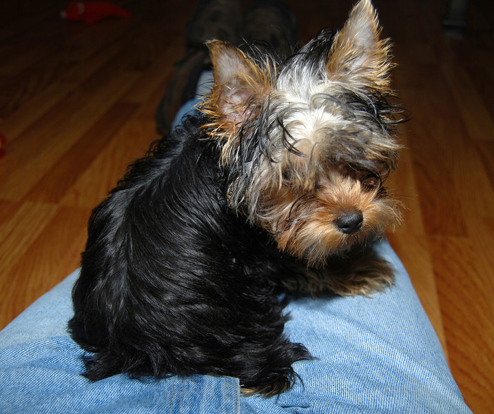 033 Yorkshire Terrier at 18 weeks.jpg