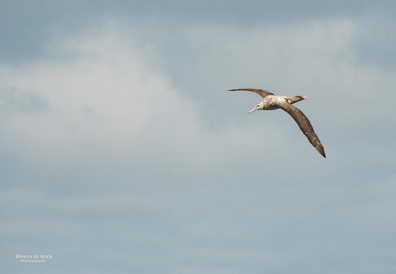 Antipodean Albatross, Wollongong, NSW, Aus, Oct 2013-4.jpg