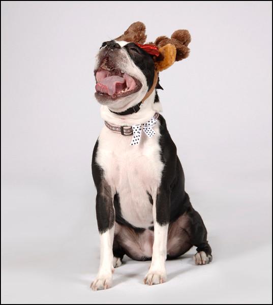 Boston Terrier laughing