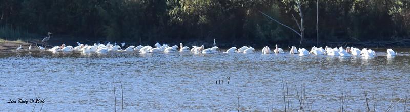 American White Pelican group 1 - 11/2/2016 - Lake Hodges Bernardo Bay