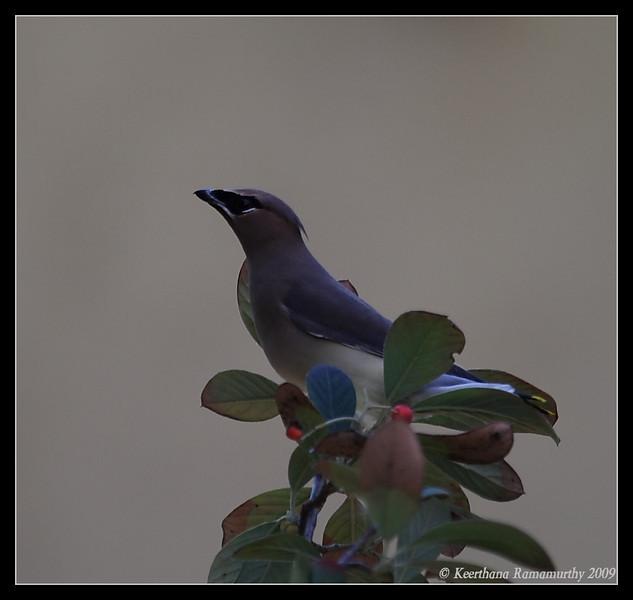 Cedar Waxwing, Mast Park, San Diego County, California, January 2009