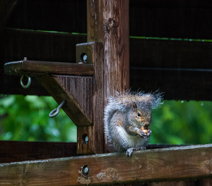 Squirrel on a Rain Day