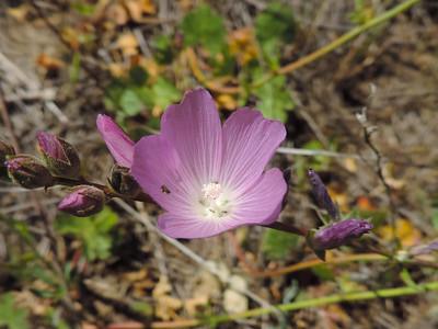 Checkerbloom (Sidalcea sparsifolia)