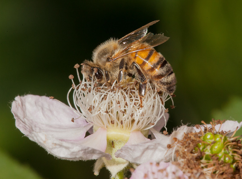 Solitary bee with not many flight hours left on her wings.