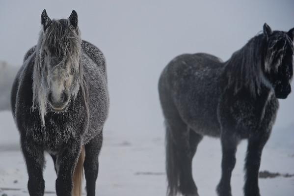 11-19-14 Frosty Horses