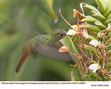 Rufous-tailed Hummingbird A88601.jpg