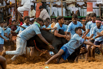 Jallikattu - A Way of Life