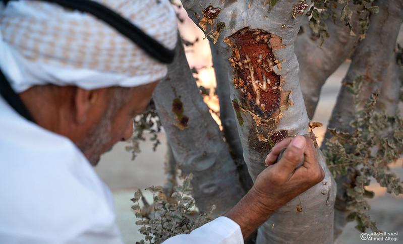 Thamrait 092 - frankincense - Dhofar.jpg