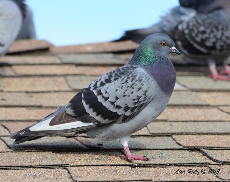 Rock Pigeon - 12/1/13 - La Jolla Cove