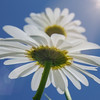 I so love oxeye daisies.