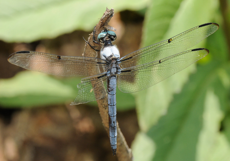 Libellula vibrans (Great Blue Skimmer), GA - male