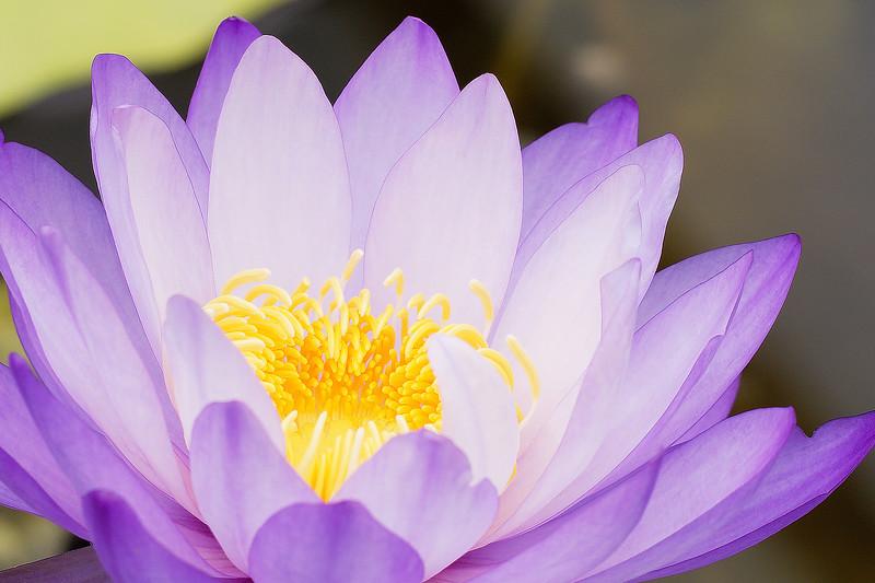 Blue Lotus Water Garden December 2019