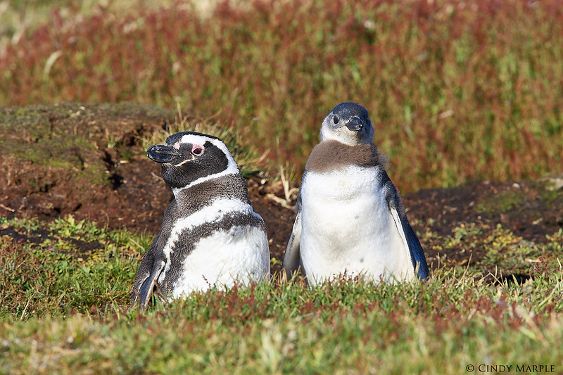 Magellanic Penguin and chick at burrow