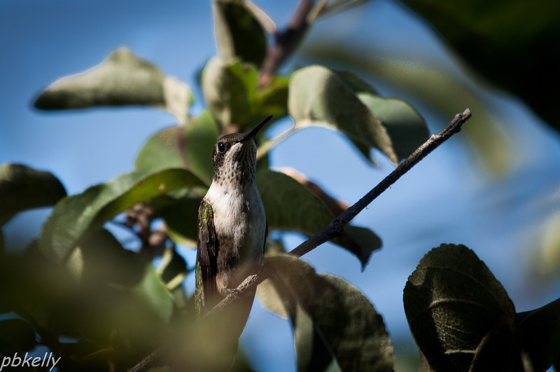 08/03..  One of my little buddies in the apple tree.