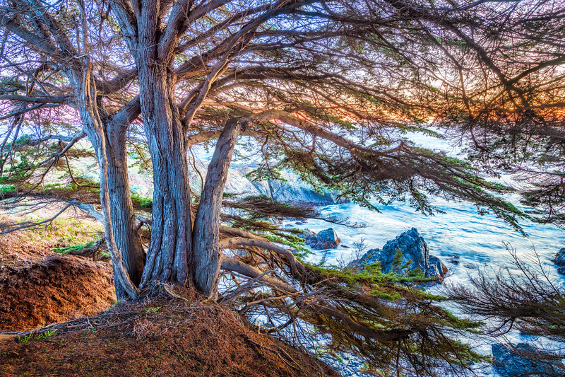 Bluff Cypress at Sunset, Sea Ranch, California