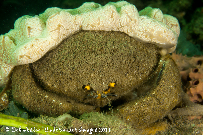 Brown crab Austrodromia octodentata