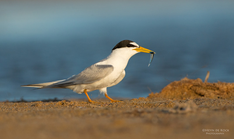 Little Tern, Lake Wolumboola, NSW, Aus, Jan 2014.jpg