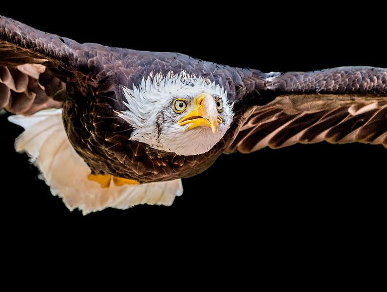 Face closeup of a bald eagle in flight