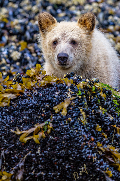 Grizzly bear cub peaking from behind a rock, cute and adorable, along low tide line, in Knight Inlet, British Columbia, Canada. Ursus arctos