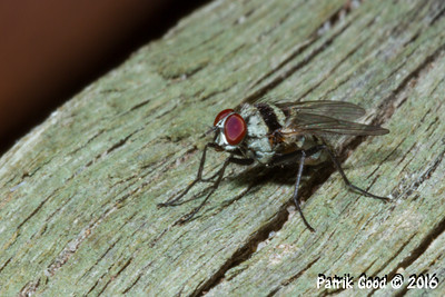 Small Grey Hairy Tachinid Fly