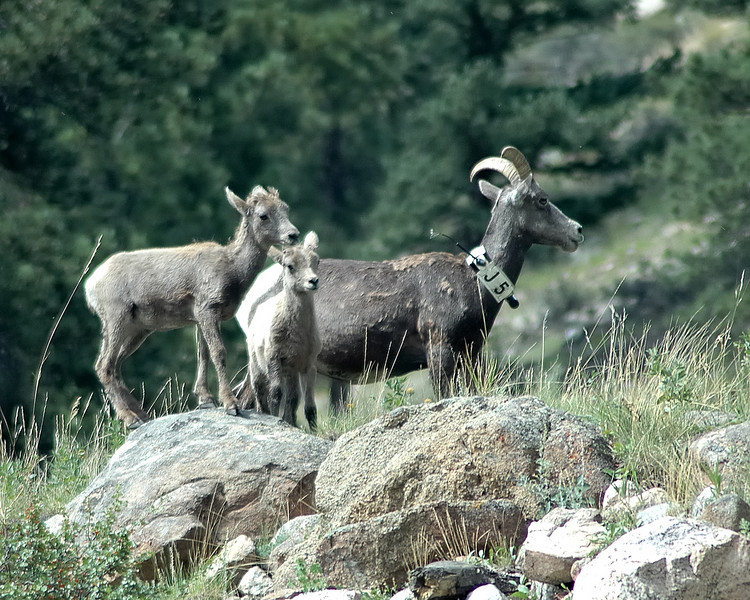 Bighorn Ewe and Lambs.jpg
