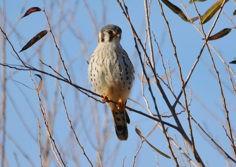 American Kestrel Perched 2.JPG