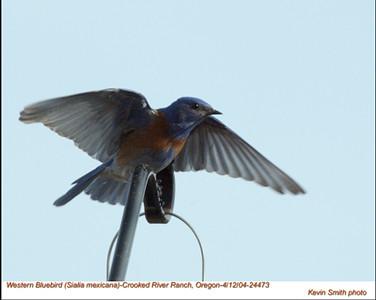 WesternBluebird24473.jpg