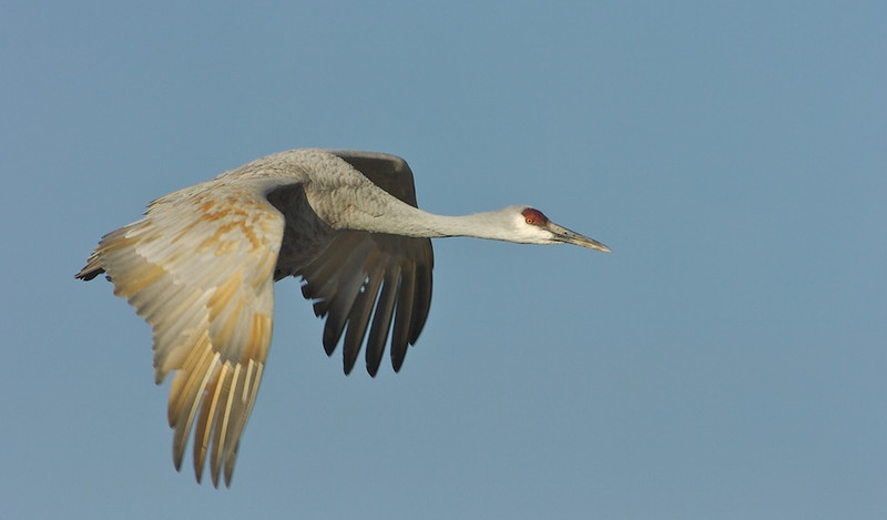 Sandhill Crane In-Flight #2